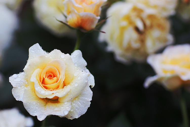 roses roser sommer have husoghave