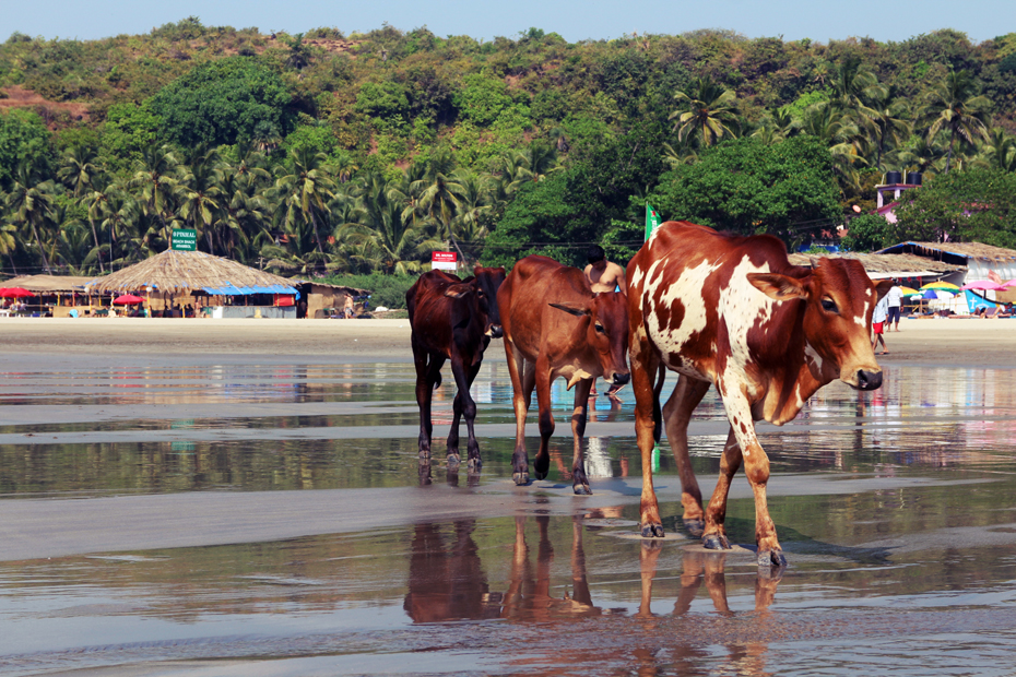 køer-på-stranden