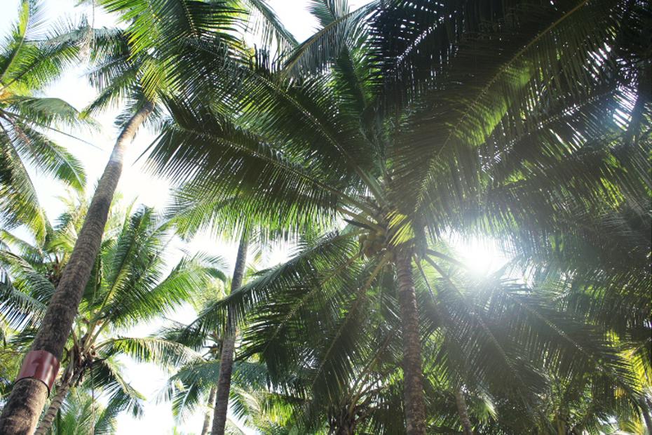 palmetræ