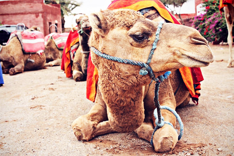 kameltur-marrakech@2x
