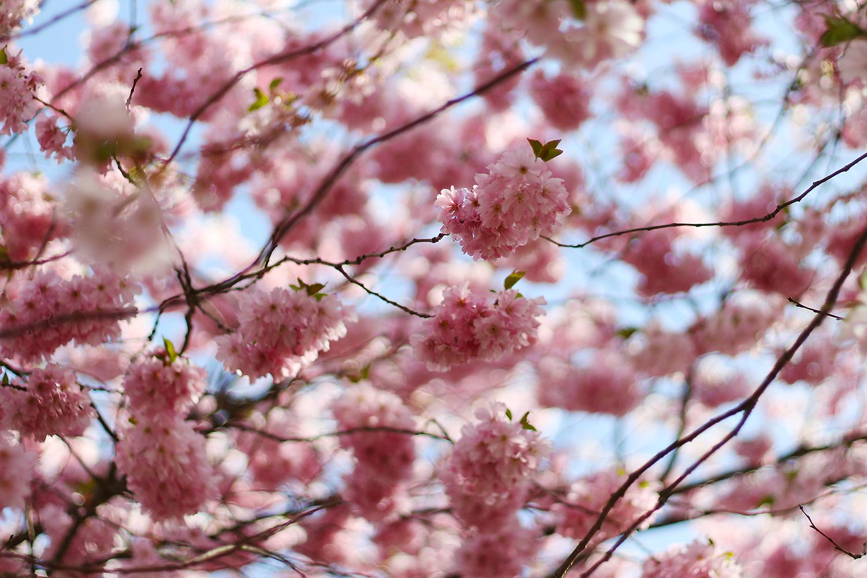 cherry-blossom@2x kopi