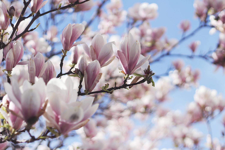 magnolietræ@2x