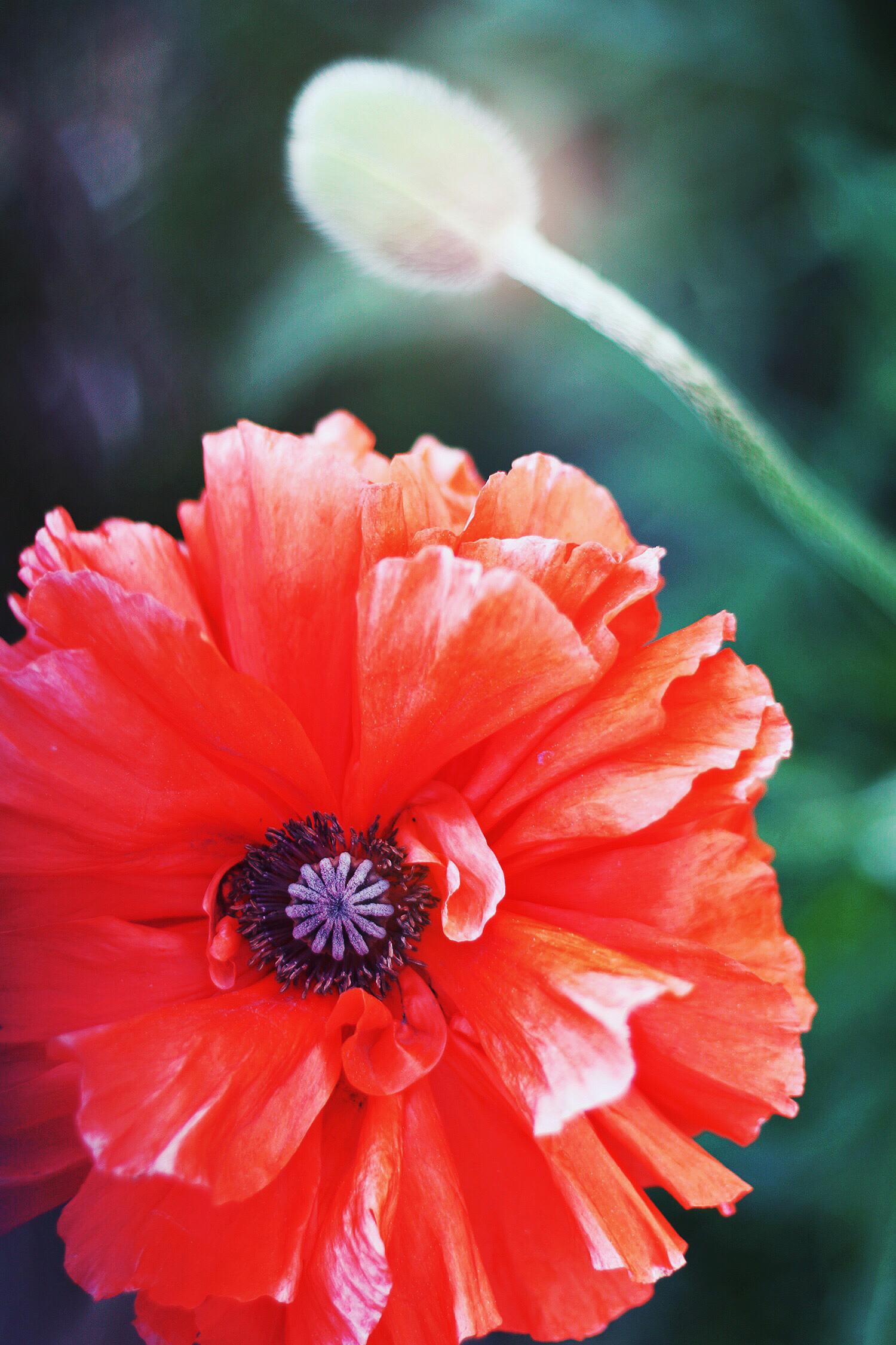 valmue-blomst