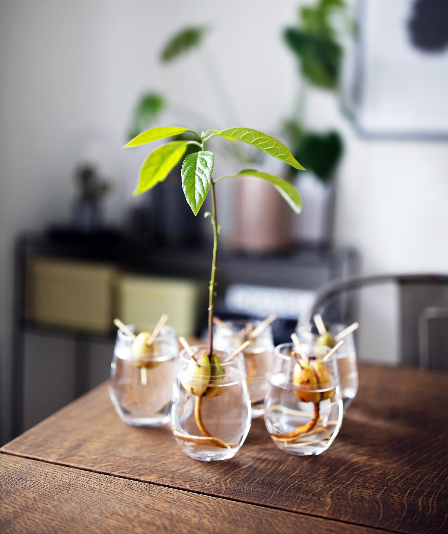 avocadotræ