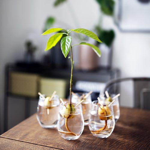 avocadotræ.jpg