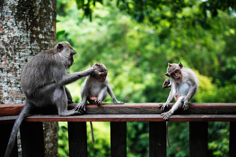 monkey-forest-bali-ubud