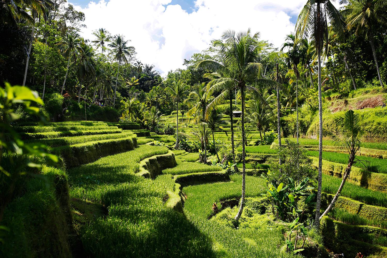 rice-terrace-bud