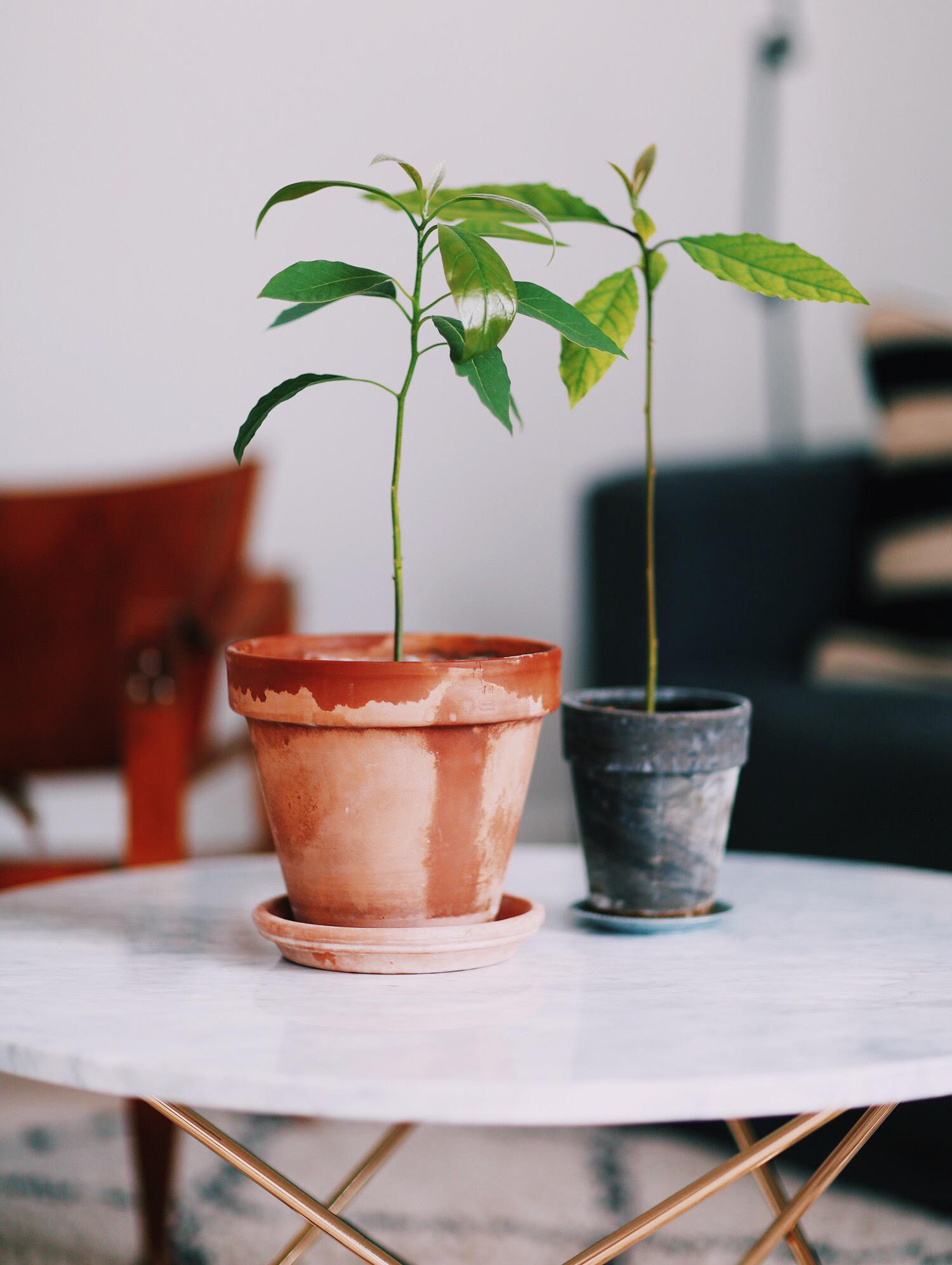 avocado-planter