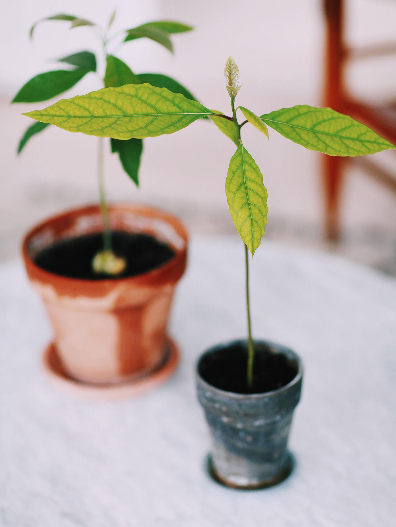 avocado-træ-diy
