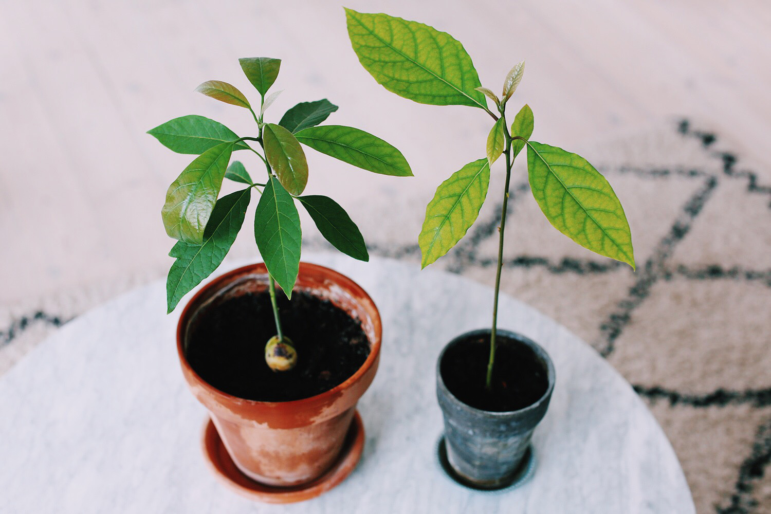 avocado-tree-diy