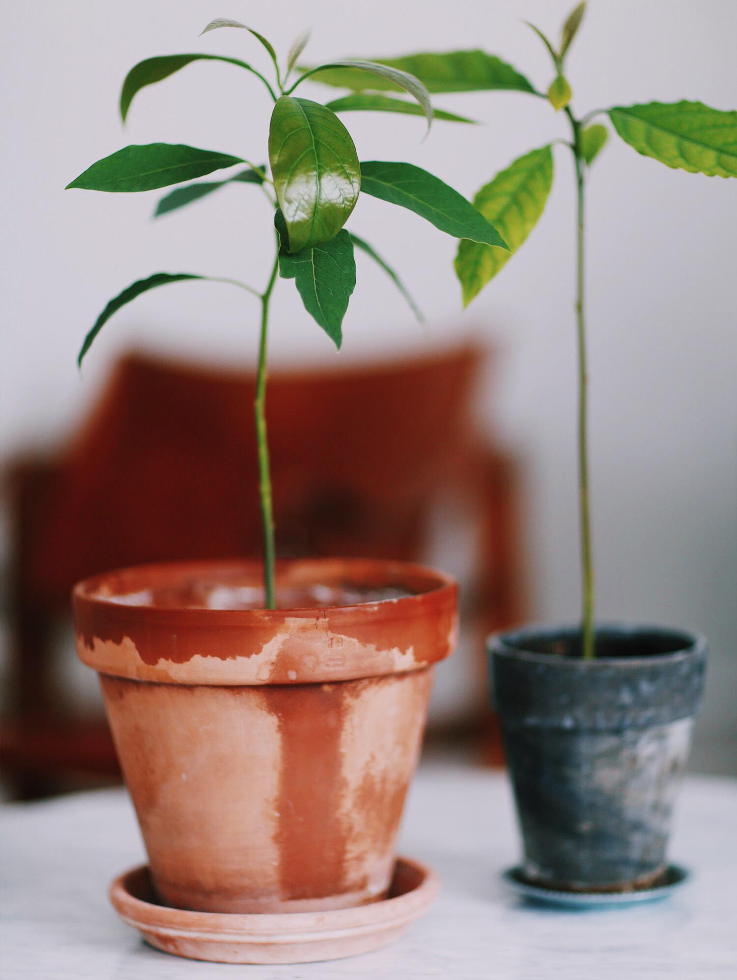 Avocado tree update a tip christina dueholm for Diy tr