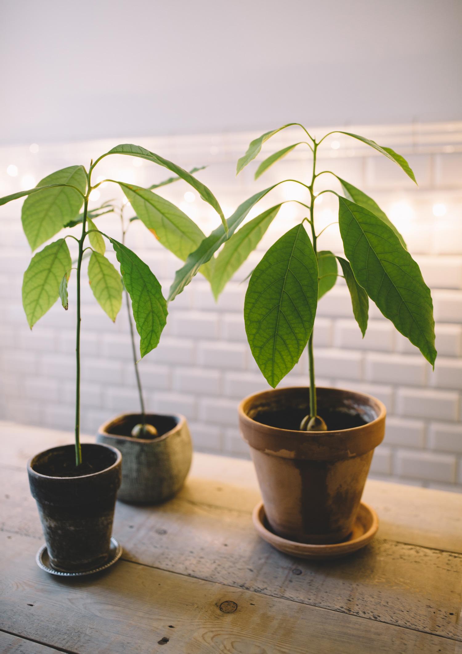 avocado-plante