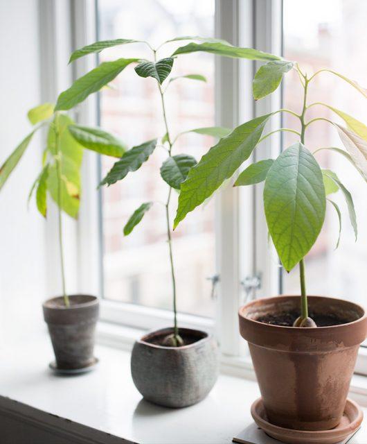 avocado tree, avocado plante, avocado sten, hjemmedyrket