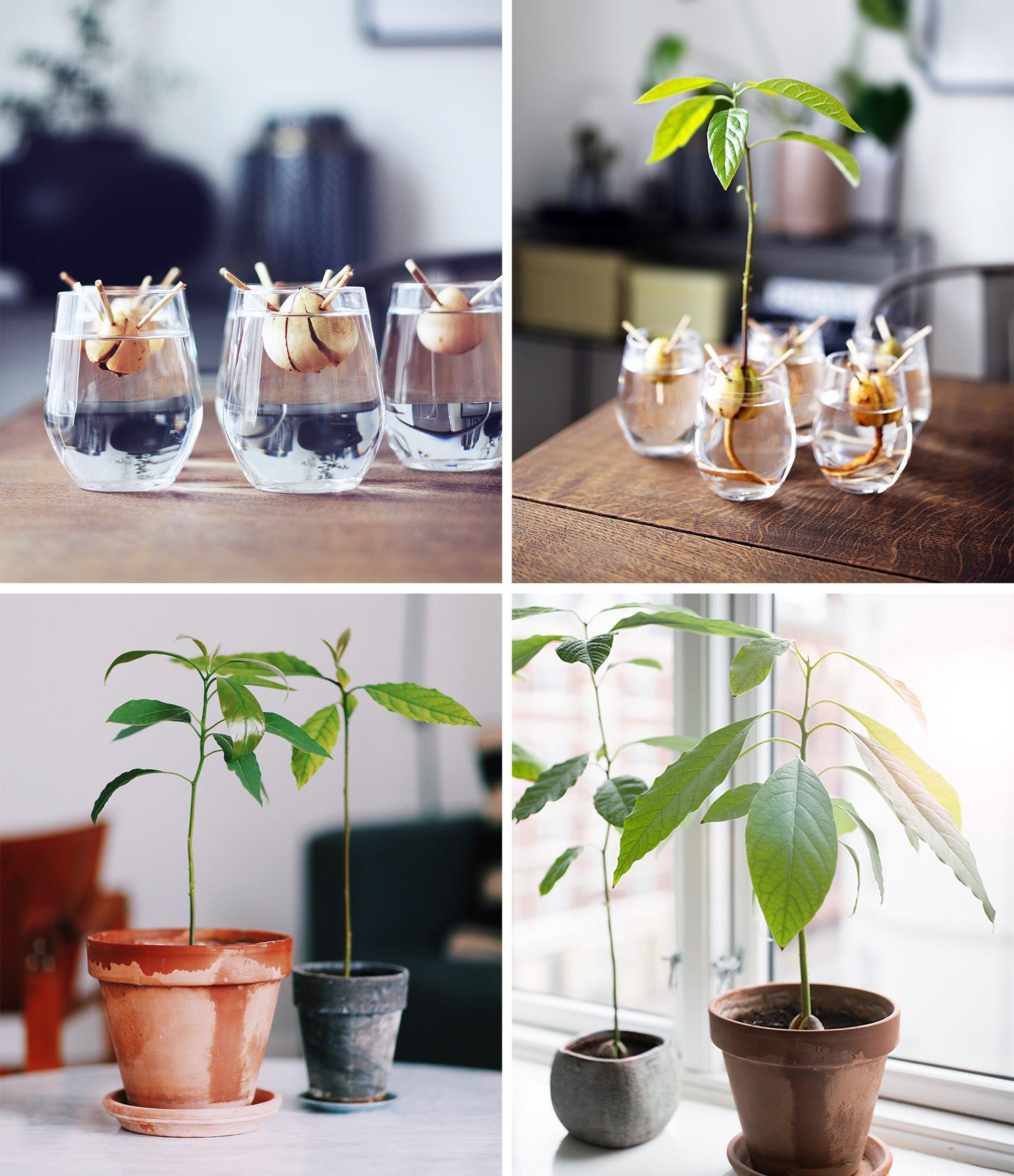 gro-en-avocado-plante