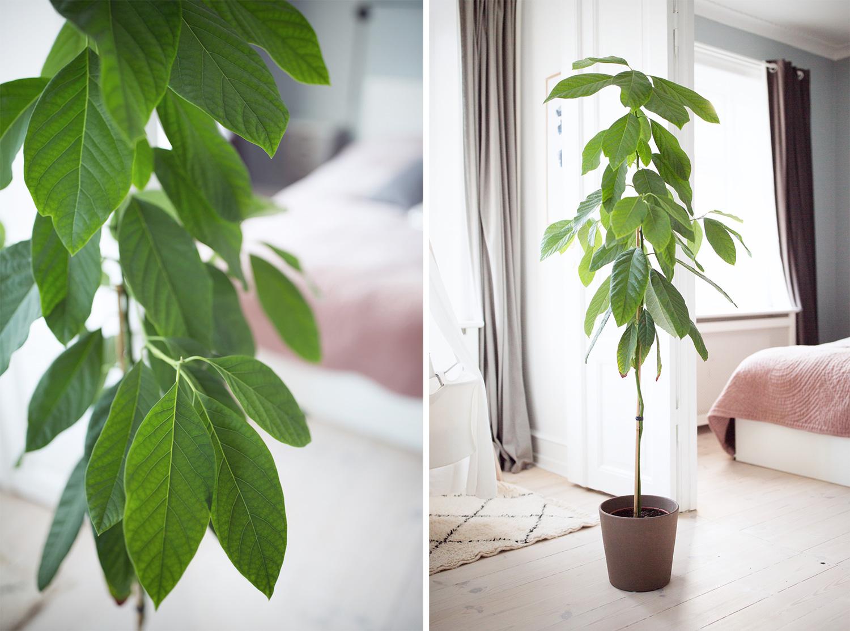 dyrke avocado hjemme