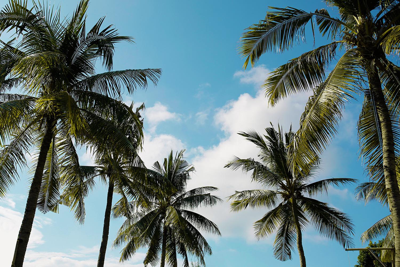 palmetraeer
